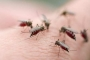 Cách đuổi muỗi khỏi nhà bạn bằng tinh dầu sả tự làm, Cách trồng sả làm cảnh đuổi muỗi