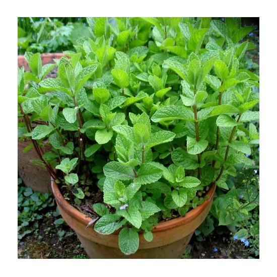 Hạt giống Bạc Hà Peppermint