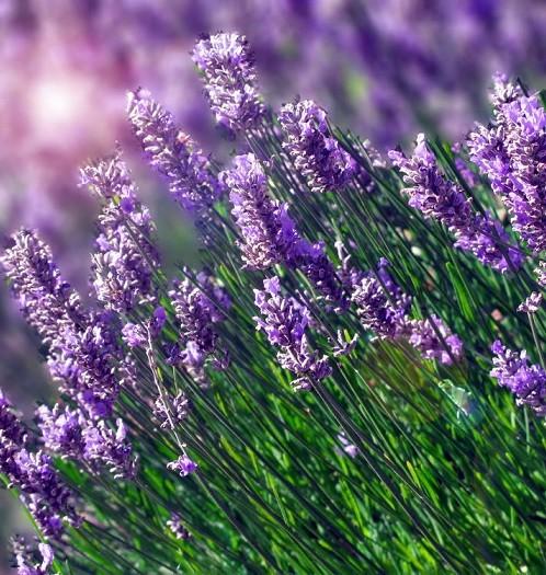 hat-giong-hoa-oai-huong-lavender-708101-3-10122016111948-946.jpg
