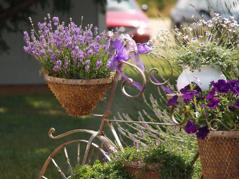 hat-giong-hoa-oai-huong-lavender-708101-6-10122016111948-278.jpg