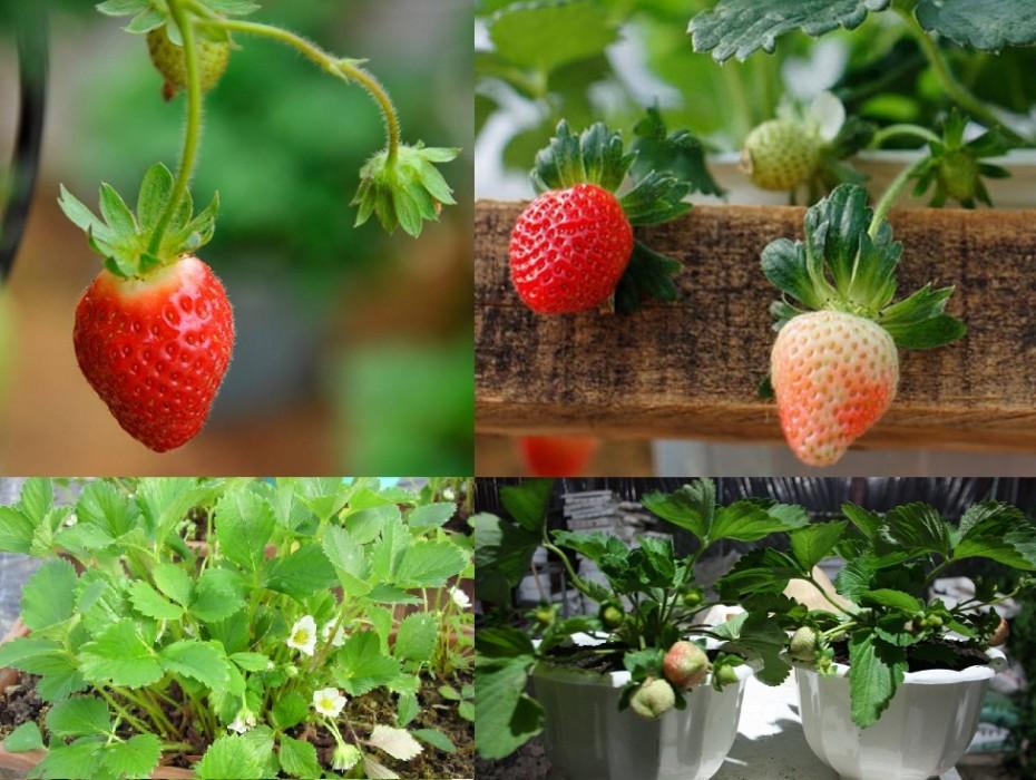 cách trồng dâu tây tại nhà 8
