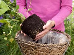 cách trồng dâu tây tại nhà 3
