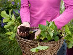 cách trồng dâu tây tại nhà 4