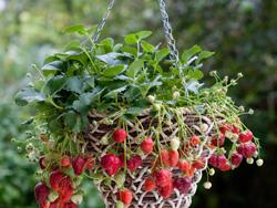 cách trồng dâu tây tại nhà 5