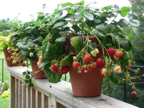 cách trồng dâu tây tại nhà 7