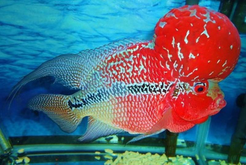 Nuôi cá La Hán thái đỏ, Cách kích đầu, kích màu mau bung đầu, lên màu cá La Hán