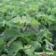 Hạt giống Rau Mùi Tây Nhật Bản - 303751-1